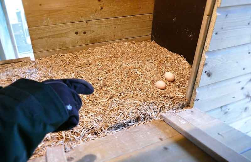 Kippen leggen eieren